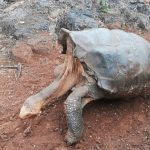 The shell of the giant turtles of Galapagos could evolve to turn around by themselves