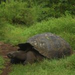 Facts about Galapagos giant tortoises that will surprise you
