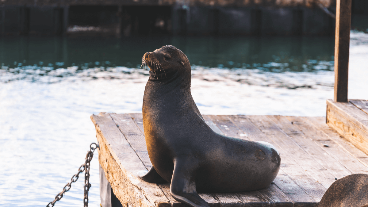 Galapagos sea lion Mammal playful and a total showstopper