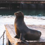 Sea lion: Mammal, playful and a total showstopper!